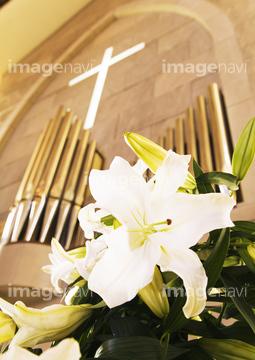 カサブランカ (植物)の画像 p1_25