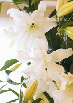 カサブランカ (植物)の画像 p1_33