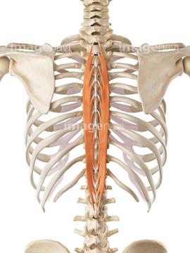 脊柱起立筋の写真素材