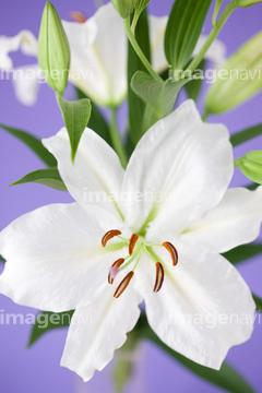カサブランカ (植物)の画像 p1_36