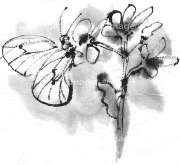 モンシロチョウの画像 p1_38