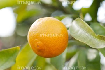 ウンシュウミカンの画像 p1_34