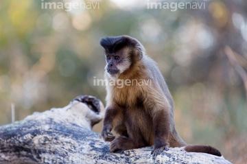 ブラジル サル・哺乳類 マットグ...