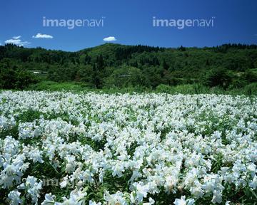 カサブランカ (植物)の画像 p1_40