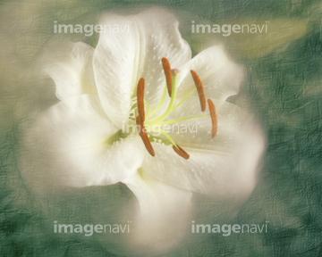 カサブランカ (植物)の画像 p1_30