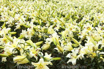 カサブランカ (植物)の画像 p1_31