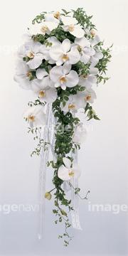 カサブランカ (植物)の画像 p1_29