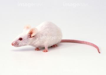 ハツカネズミの画像 p1_31
