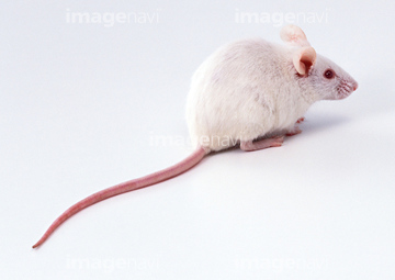ハツカネズミの画像 p1_28