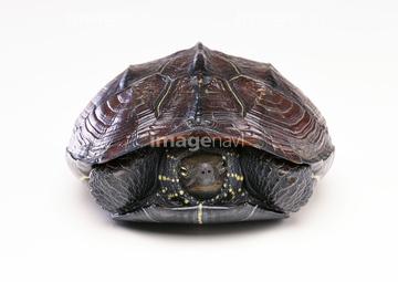 クサガメの画像 p1_25