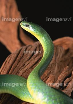 生き物 爬虫類 両生類 ヘビ 枝 の画像素材 写真素材なら