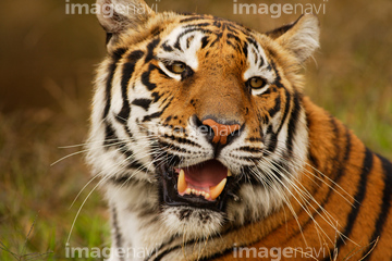 Skeleton Coast Namibia >> 【生き物 > 陸の動物 > ライオン・トラ,吠える】の画像素材 | 写真素材ならイメージナビ