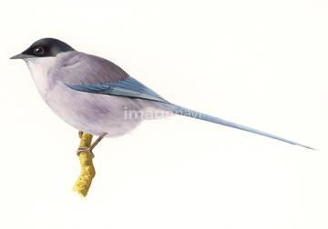 オナガの画像素材 鳥類生き物の写真素材ならイメージナビ