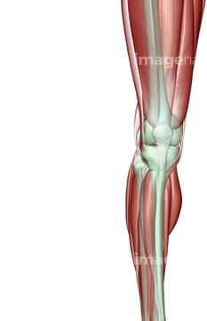 骨格 人体図 下半身 脚 ふくらはぎmedicalrfcomの画像素材