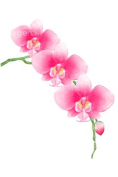 胡蝶蘭イラストの画像素材 花植物イラストcgのイラスト