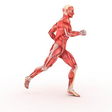 人体解剖学 走る動作 男性 横紋筋の画像素材 ライフスタイル