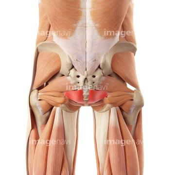 「尾骨筋 画像」の画像検索結果