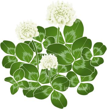 シロツメクサの画像素材 花植物イラストcgの写真素材なら