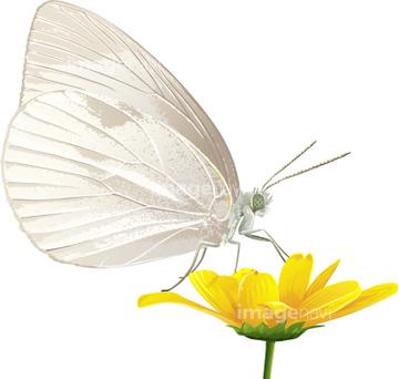 モンシロチョウの画像素材 虫昆虫生き物の写真素材ならイメージナビ