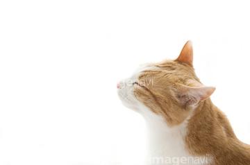 ベクトルアメショー 子猫 背景 猫の目 素材 Wwwthetupiancom