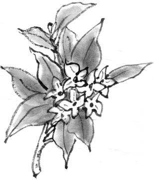 沈丁花の画像素材 葉花植物の写真素材ならイメージナビ
