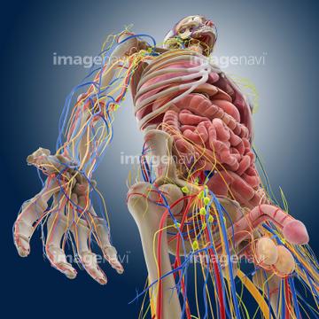 内臓 人体解剖学 腹腔の画像素材 医療イラストcgの写真素材なら