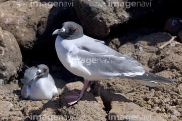 アカメカモメ】の画像素材 | 鳥...