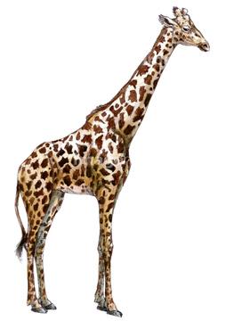キリン の画像素材 陸の動物 生き物の写真素材ならイメージナビ