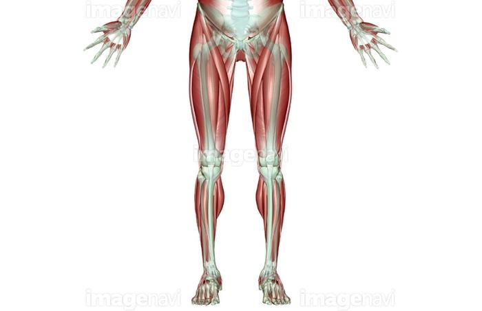 下半身 筋肉 人体図 人体解剖学の画像素材15600341 イラスト素材