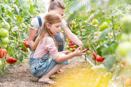 Mother and daughter harvesting tomatoes in greenhouse
