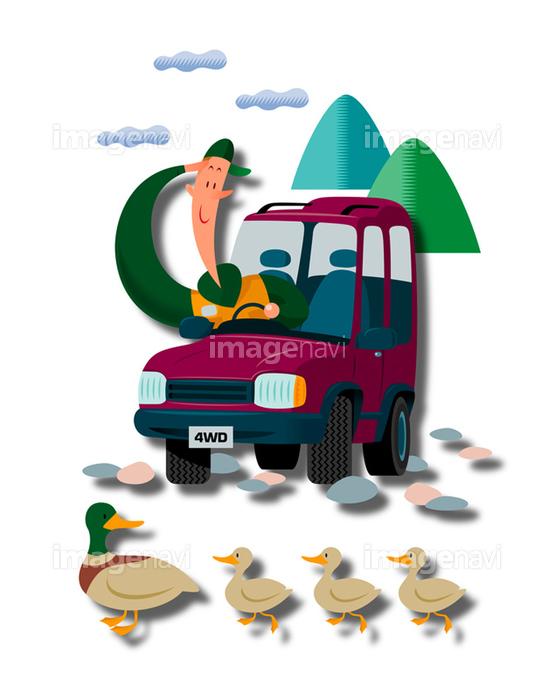 カルガモの親子と車を運転する男性 の画像素材 イラスト素材ならイメージナビ