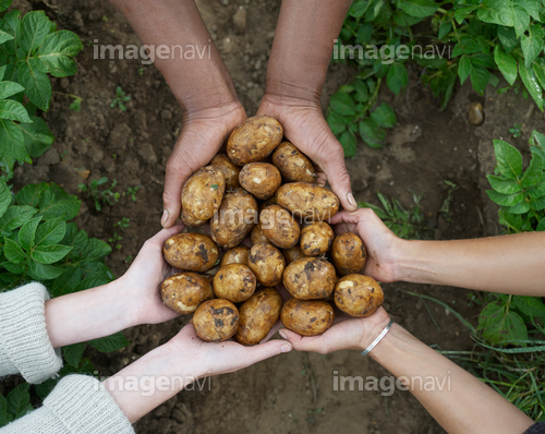 Multicultural hands holding fresh potatoes.