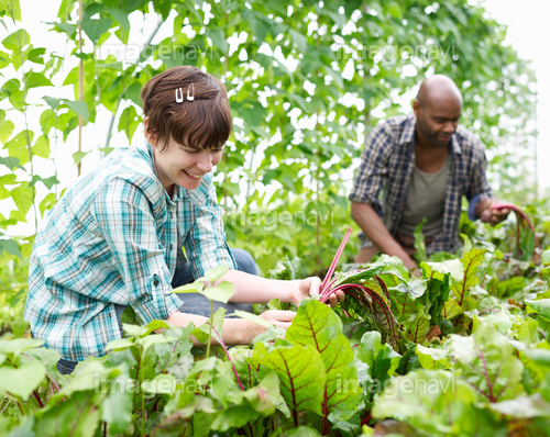 Couple picking vegetables in poly tunnel.