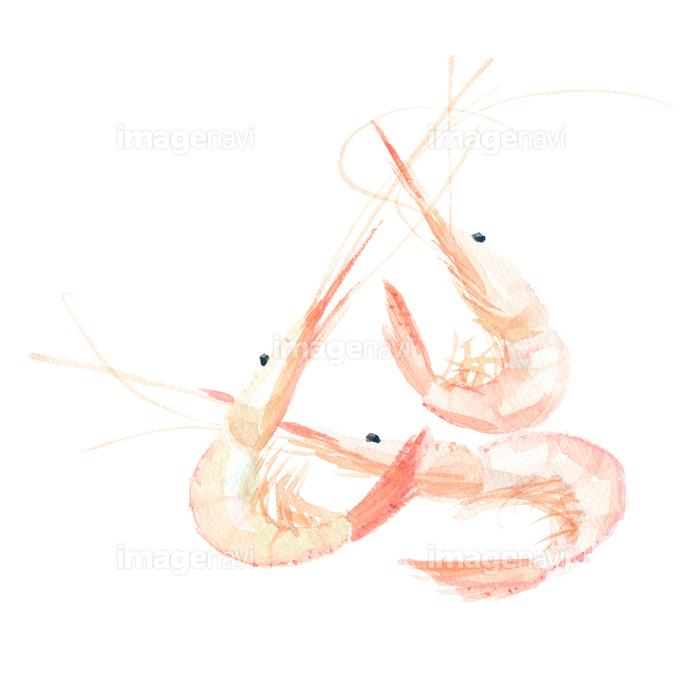 白エビ の画像素材 イラスト素材ならイメージナビ