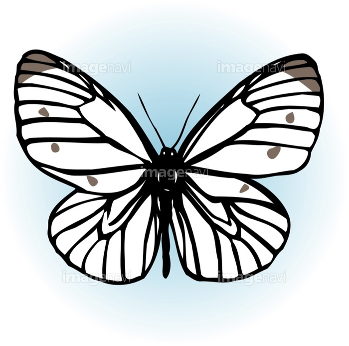 モンシロチョウ の画像素材 イラスト素材ならイメージナビ