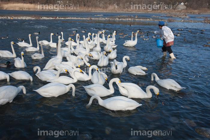 の 湖 白鳥